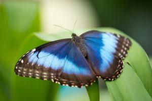 Blue butterfly sitting on green leaf