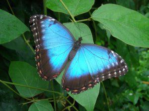 Blue-butterfly-2