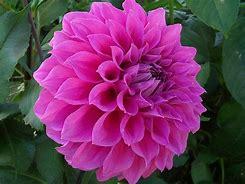 large pink bloom