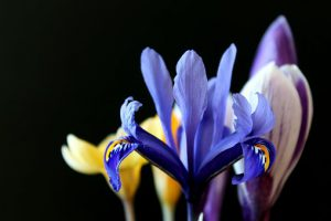 lily-crocus-early-bloom