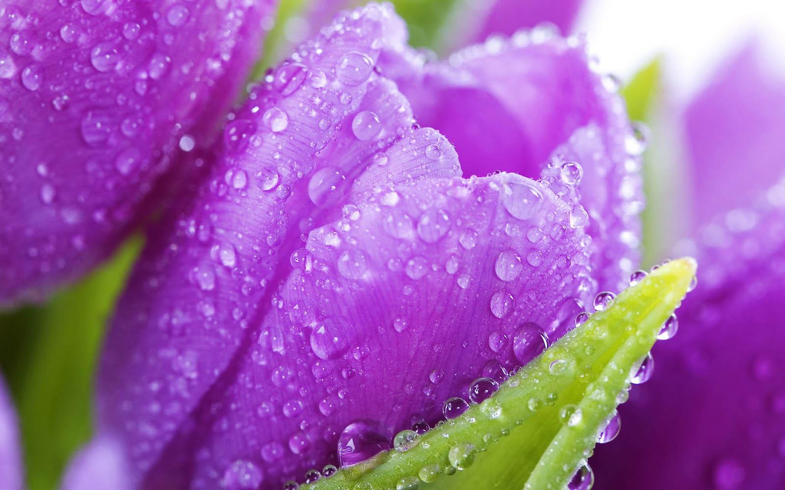 purple-flower-dew