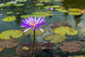 purple-flower-in-pond.jpg
