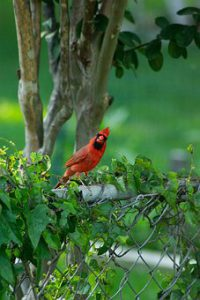 cardinal-2403944__340.jpg