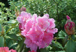 flower-rhododendron-3406234__340.jpg