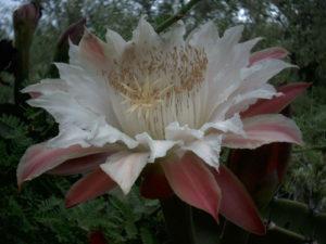 Cereus-forbesii1.jpg