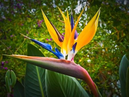 bird-of-paradise-flower-1359718__340.jpg