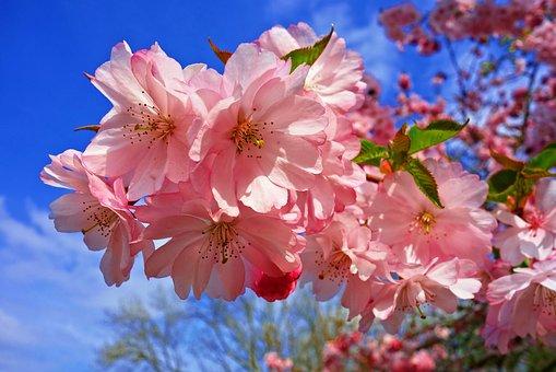 cherry-blossom-3320018__340.jpg