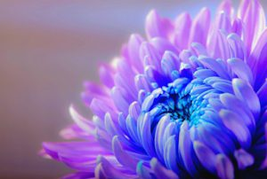 chrysanthemum-1332994__340.jpg