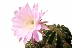 flowers-Night-Blooming-Cereus-01.jpg