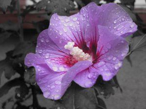 hibiscus-197948__340.jpg