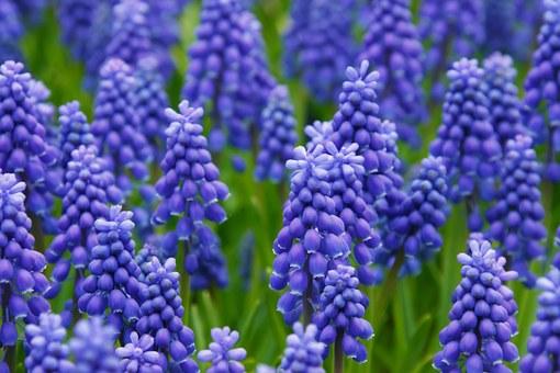 hyacinth-21687__340.jpg