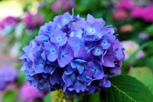 hydrangea-377429__340 (1).jpg