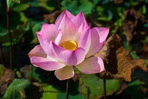 lotus-3047870__340.jpg