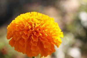marigold2-1935782__340.jpg