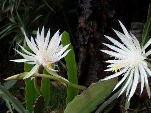 night-blooming-cereus-14557__340.jpg