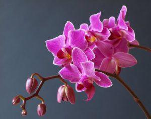 orchid-3016679__340.jpg