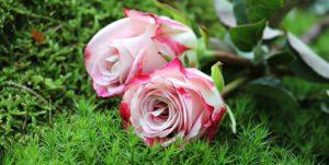 roses-1868669__340.jpg